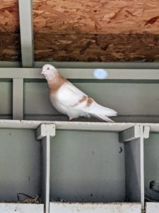 The tippler is a breed of domestic pigeon bred for endurance. Some of them have been known to fly for up to 22-hours nonstop.