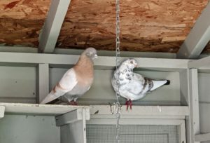 Pigeons are very docile, gentle and sweet-natured birds – everyone at the farm loves visiting them. on the left is an Isabella Tippler and on the right is an Almond Tippler.