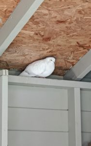 This white bird is a Homer – among the most famous pigeon breeds. Homers come in a variety of colors and have a remarkable ability to find their way home from very long distances. Although they love to roost, pigeons can fly at altitudes of 6000-feet or more. Pigeons can also fly at average speeds of up to 77-miles per hour.