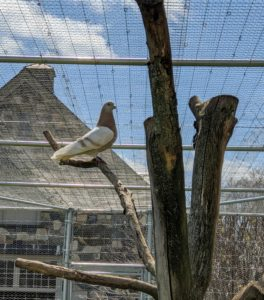 "They love to perch atop the branches waiting for visitors. We ""planted"" this tree inside their enclosure. Pigeons have excellent hearing. They can detect sounds at far lower frequencies than humans, and can hear distant storms and volcanoes."