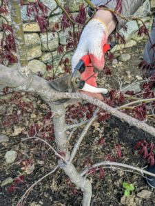 "When pruning, first I assess each specimen from the bottom and then start cutting out any of the ""three Ds"" – dead, damaged, or diseased branches."