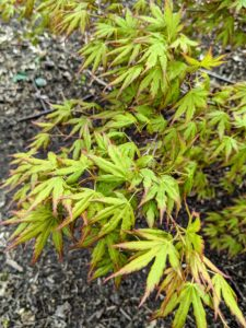 Here are the leaves on a green Japanese maple.