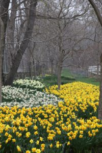 The spectacular daffodil border