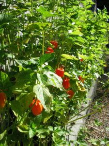 A member of the nightshade family, ornamental Chinese lanterns are related to potatoes tomatoes, peppers, eggplants, and petunias.