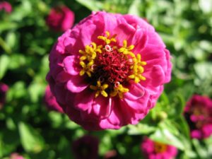 Zinnias are a member of the large Aster family of plants and originated in Mexico and the Southwest United States.
