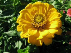 Zinnias are started incredibly easily from seed and they grow and flower very quickly.
