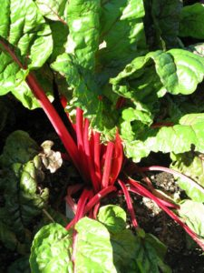 The healthy stalks and leaves of Swiss chard