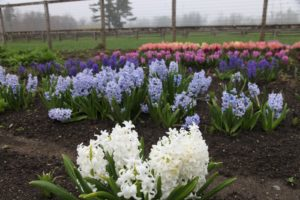 Another look at those hyacinths