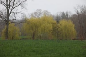 With the gray sky and misty atmosphere, these weeping willows looked quite chartreuse.