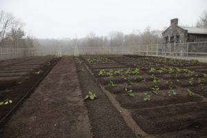 In the vegetable garden, cabbage, broccoli, and cauliflower plants have been set in the ground.