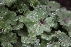 I love lady's mantle as a border plant and I really love how its leaves collect beads of water.