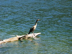 They are so adept at catching fish that in Asia, cormorants are used by fishermen who collar the leashed birds to prevent them from swallowing their catch.