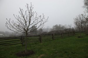 In this area, I have a stand of American chestnut trees growing.