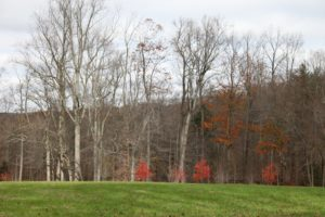 A great color contrast of the green meadow and the bright red leaves of young sugar maples.
