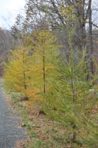 A row of larch trees - Although a conifer, the larch is also a deciduous tree and loses its needles in the fall.