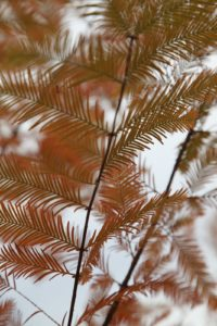 The metasequoia is also call dawn redwood for its red color.
