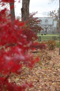 Red Japanese maples with the pair of Black Welsh Mountain Sheep beyond