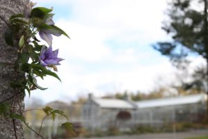Some clematis are still blooming in November!