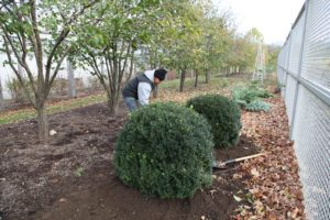 Chhewang planting more boxwood next to the vegetable garden