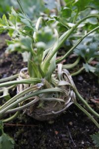 Big beautiful celeriac bulbs - celeriac makes an amazing pureed soup.