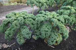 I will chiffonade some of this Winterbor kale for a minestrone this weekend.