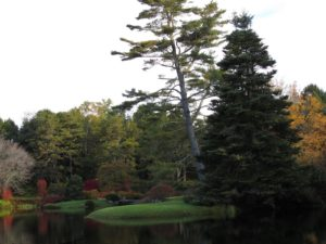 The leaning tree is another example of cloud pruning, or Niwaki.  This type of pruning removes certain tree limbs, creating unique form.