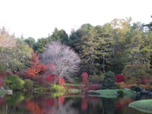 The bare tree is a Japanese cherry, which blooms in mid-May, heralding the start of the season.