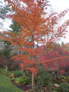The fiery autumn foliage of a stewartia