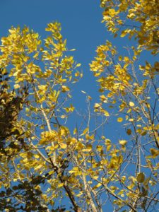 A gorgeous contrast of yellow aspen against a clear blue sky