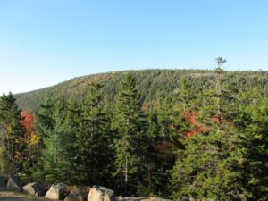 There are a lot of red spruce growing in this part of Maine.