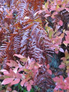 A beautiful contrast of autumn fern and blueberry