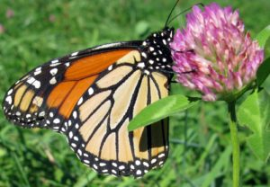 This monarch butterfly is enjoying the nectar of a clover blossom before migrating to warmer climates.