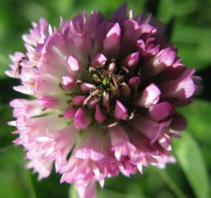 Many insects feed on clover blossoms.