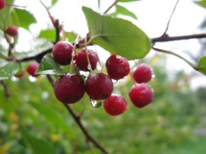 Glistening deep red crab apples