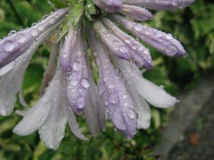 Pale lavender trumpet-like hosta flowers