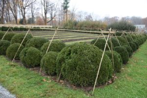These boxwood are ready to be shrouded with burlap.