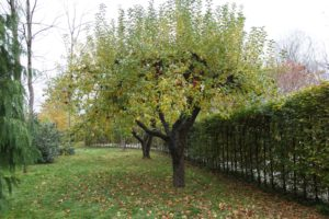 These are some of the original apple trees on the property.