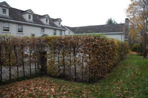 This hornbeam hedge is dropping its leaves.