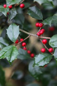 With beautiful red holly berries for the upcoming holiday season.