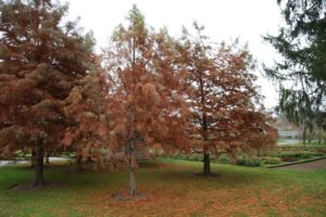 The bald cypress grove is bright amber and the trees are rapidly dropping their feathery leaves.