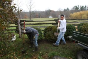 I had several boxwood shrubs replaced around the farm because of yellowing foliage.  Wilmer and Gyurme transplanted those boxwood to inconspicuous areas.