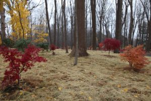 I had the crew spread salt hay around the Japanese maples on hopes of discouraging weeds from growing next spring.