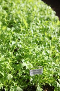 Mustard Greens - Early Mizuna - A Japanese mustard green often found in Mesclun mixes.  Its bright green, serrated leaves are wonderful in in stir fries, salad, sandwiches and soup.