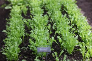 Endive - Clodia - These fringed leaves are great in salad mixes.