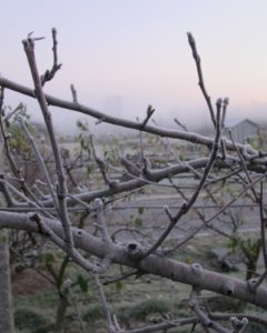 Right nearby is the grove of apple espalier, growing on support wires.