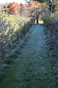 We've been having frosty mornings at the farm.  These are the rows of apple espaliers.