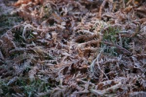 A closeup of their frosty deciduous needles upon the still green grass