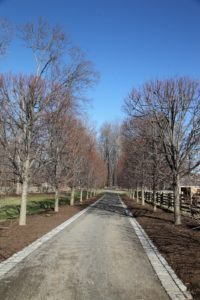 The allee of linden - the long beds beneath all newly planted with 116,000 blue flowering spring bulbs