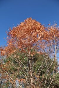 This Dawn Redwood, or Metasequoia, still retains some needles, which look great against the clear blue sky.