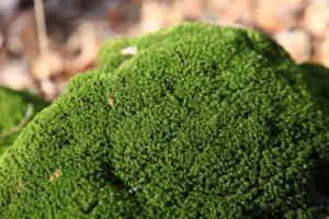 With so many things turning brown with the approaching winter, this clump of moss in the woods remains a vivid green.